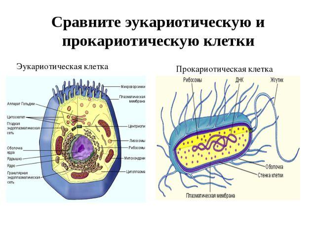 Сравните эукариотическую и прокариотическую клетки Эукариотическая клетка Про...