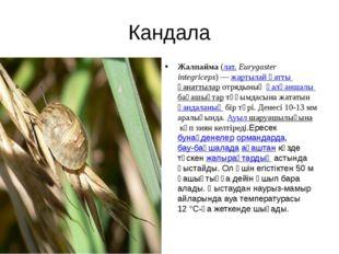 Кандала Жалпайма(лат.Eurygaster integriceps) —жартылай қатты қанаттыларот