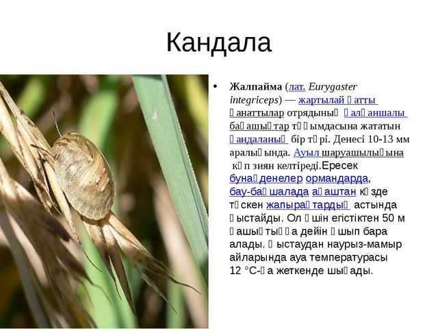 Кандала Жалпайма(лат.Eurygaster integriceps) —жартылай қатты қанаттыларот...