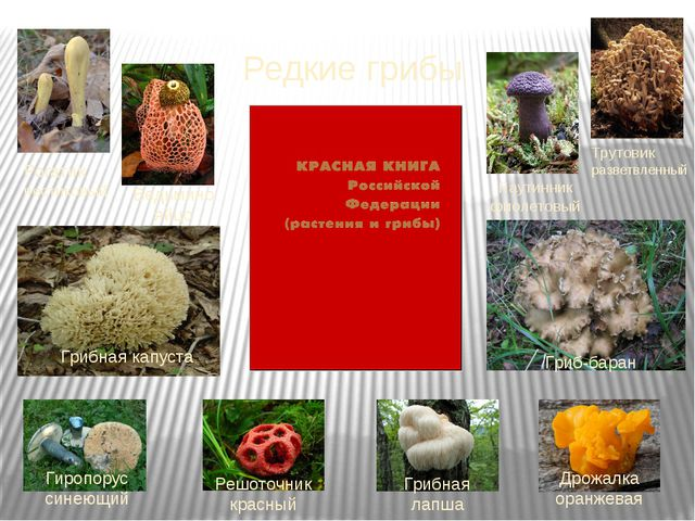 Редкие грибы Рогатик пестиковый Ведьмино яйцо Паутинник фиолетовый Трутовик р...