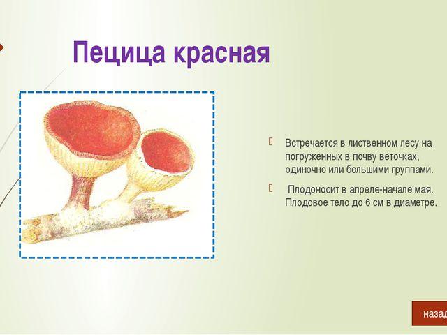 Сыроежка чешуйчатая Растёт в хвойных и лиственных лесах в августе-сентябре....