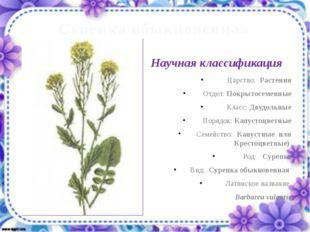 Сурепка обыкновенная Царство: Растения Отдел: Покрытосеменные Класс: Двудольн