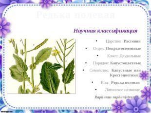 Редька полевая Царство: Растения Отдел: Покрытосеменные Класс: Двудольные Пор