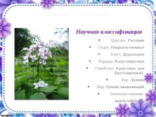Лунник оживающий Царство: Растения Отдел: Покрытосеменные Класс: Двудольные