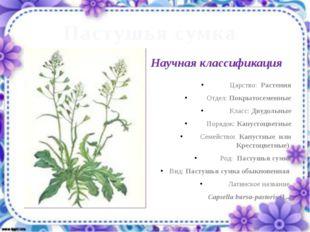 Пастушья сумка Царство: Растения Отдел: Покрытосеменные Класс: Двудольные Пор
