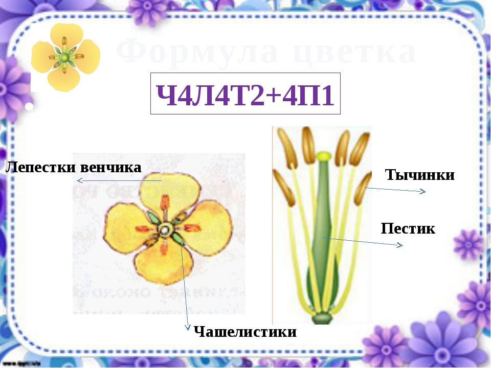 Чашелистики Лепестки венчика Тычинки Пестик Ч4Л4Т2+4П1 Формула цветка