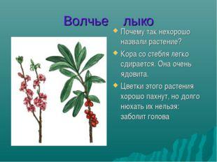 Волчье лыко Почему так нехорошо назвали растение? Кора со стебля легко сдирае