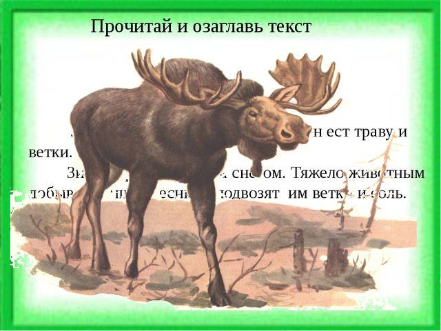 Лось - большой лесной зверь. Он ест траву и ветки. Зимой трава засыпана снег...