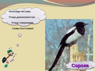 Непоседа пестрая, Птица длиннохвостая, Птица говорливая, Самая болтливая!