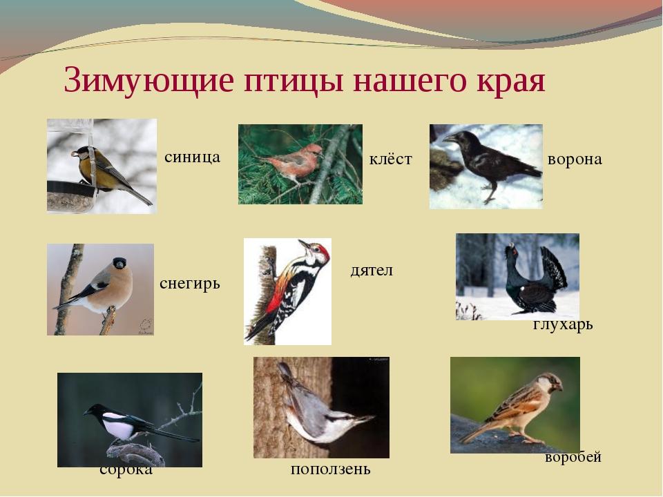 Зимующие птицы нашего края    синица  клёст ворона снегирь дятел г...