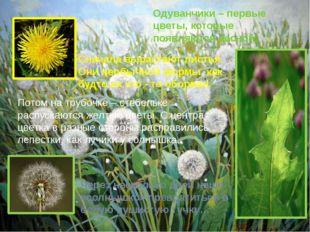 Одуванчики – первые цветы, которые появляются весной. Сначала вырастают листь