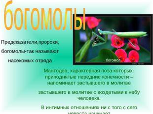 Предсказатели,пророки, богомолы-так называют насекомых отряда Мантодеа, харак