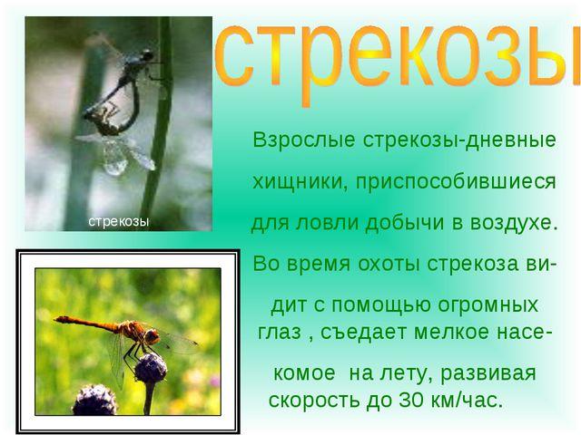 Взрослые стрекозы-дневные хищники, приспособившиеся для ловли добычи в воздух...