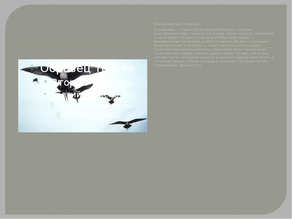 Длиннохвостый поморник Поморники — птицы отряда ржанкообразных, дальние родс...