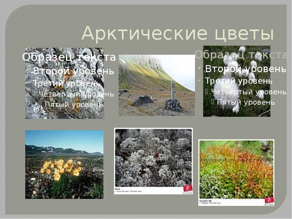 Арктические цветы