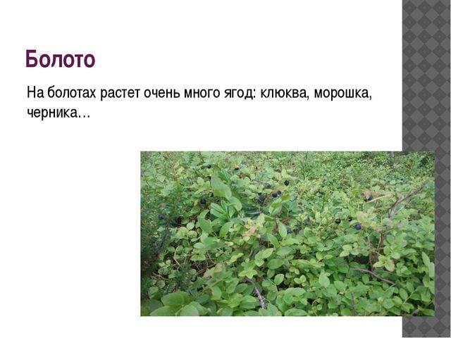 Болото На болотах растет очень много ягод: клюква, морошка, черника…