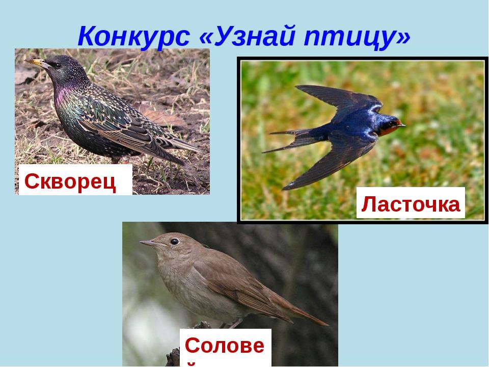 Конкурс «Узнай птицу» Скворец Ласточка Соловей