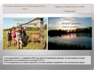 Александровский лес, созданный в 1884 году, является памятником природы. За с