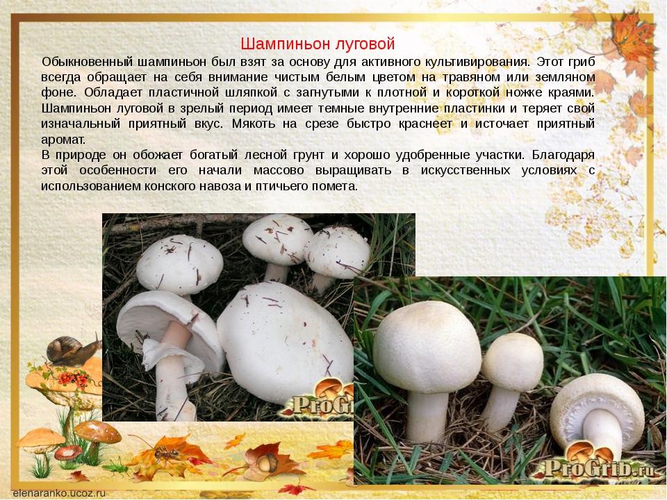 нежный грибы шампиньоны картинки с описанием военнопленные
