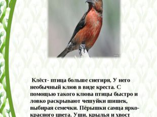 Клёст- птица больше снегиря, У него необычный клюв в виде креста. С помощью