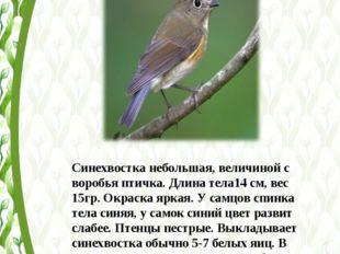 Синехвостка небольшая, величиной с воробья птичка. Длина тела14 см, вес 15гр.