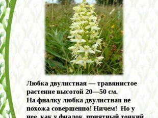 Любка двулистная— травянистое растение высотой 20—50см. На фиалку любка дву