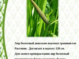 Аир болотный довольно высокое травянистое Растение. Достигает в высоту 120 с