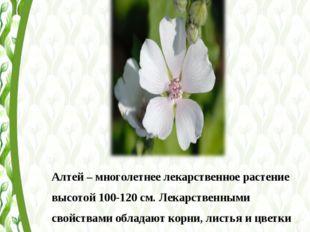Алтей – многолетнее лекарственное растение высотой 100-120 см. Лекарственными