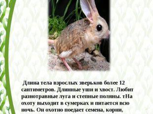 Длина тела взрослых зверьков более 12 сантиметров. Длинные уши и хвост. Люби