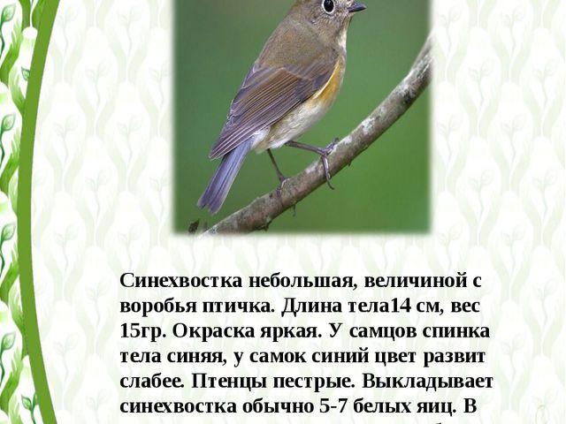 Синехвостка небольшая, величиной с воробья птичка. Длина тела14 см, вес 15гр....