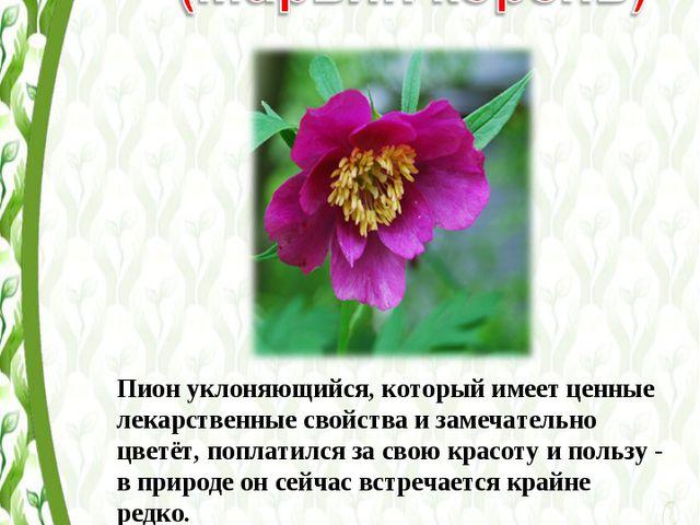 Пион уклоняющийся, который имеет ценные лекарственные свойства и замечательно...