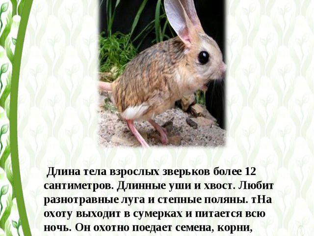 Длина тела взрослых зверьков более 12 сантиметров. Длинные уши и хвост. Люби...