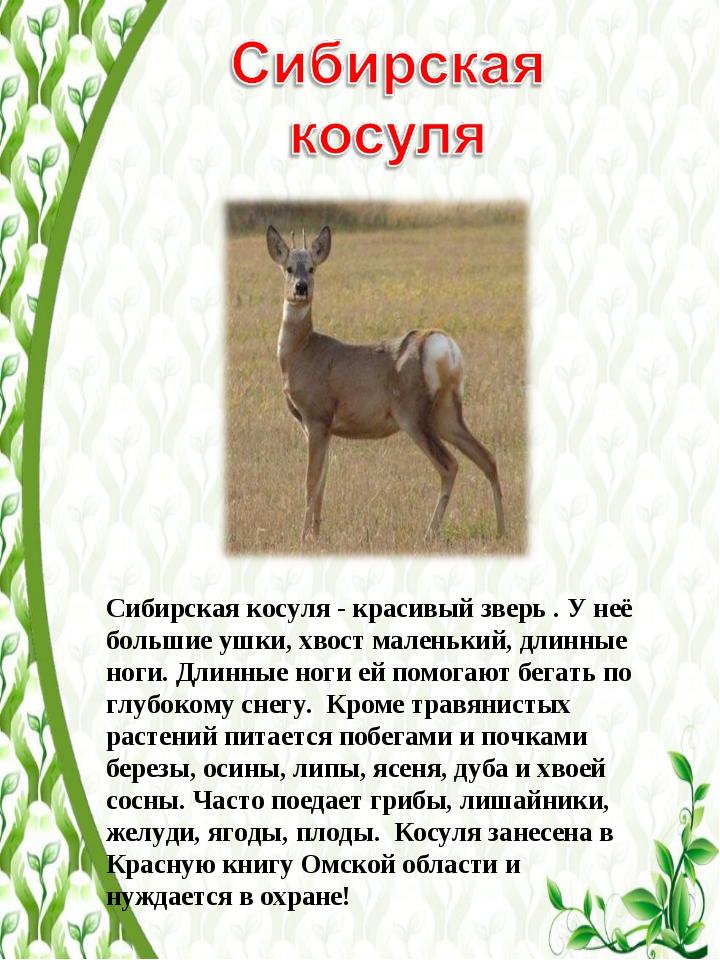 Сибирская косуля - красивый зверь . У неё большие ушки, хвост маленький, длин...
