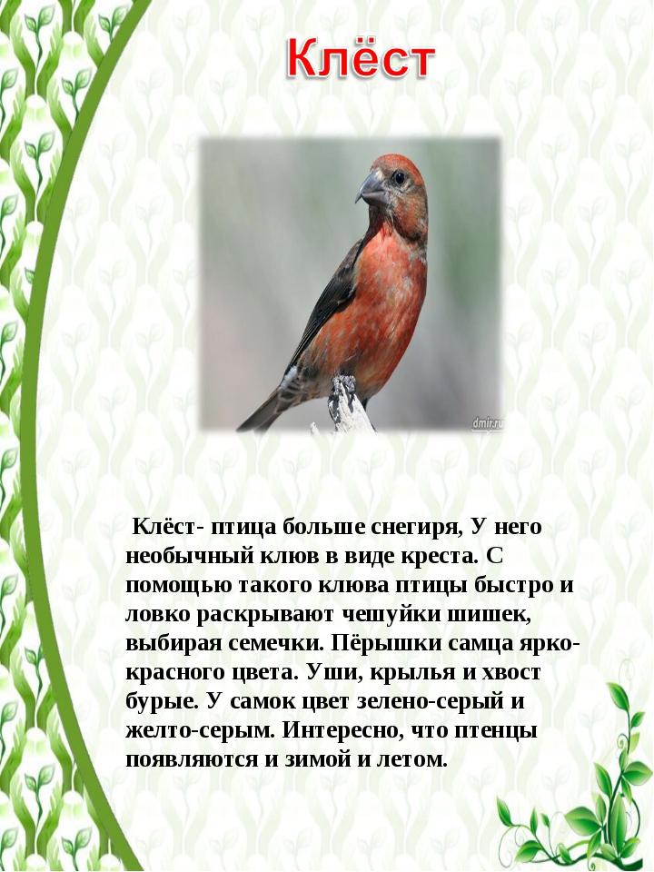 Клёст- птица больше снегиря, У него необычный клюв в виде креста. С помощью...