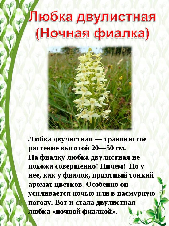 Любка двулистная— травянистое растение высотой 20—50см. На фиалку любка дву...