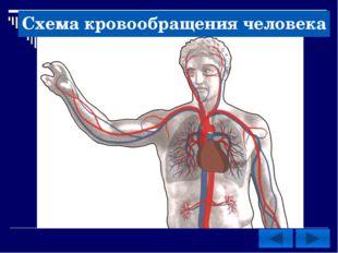 Схема кровообращения человека
