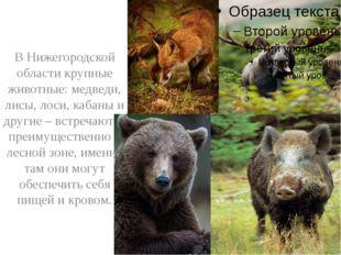 В Нижегородской области крупные животные: медведи, лисы, лоси, кабаны и друг