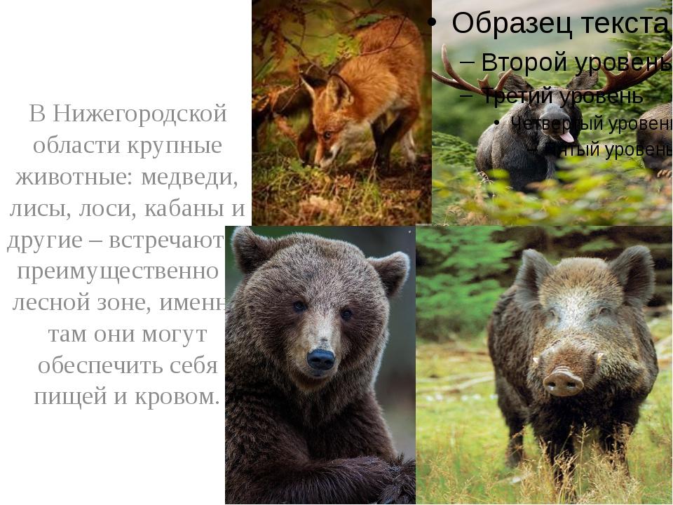 В Нижегородской области крупные животные: медведи, лисы, лоси, кабаны и друг...