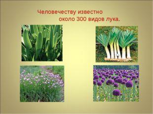 Человечеству известно около 300 видов лука.