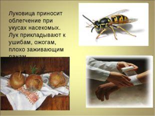 Луковица приносит облегчение при укусах насекомых. Лук прикладывают к ушибам,