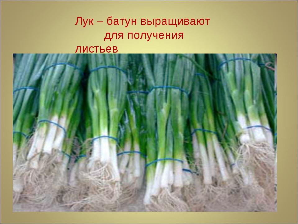 Лук – батун выращивают для получения листьев