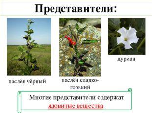 Многие представители содержат ядовитые вещества паслён чёрный паслён сладко-