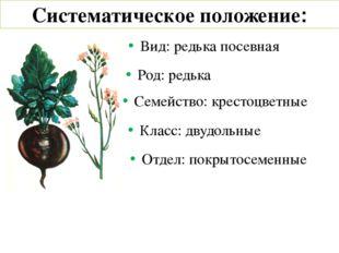 Систематическое положение: Вид: редька посевная Род: редька Семейство: кресто