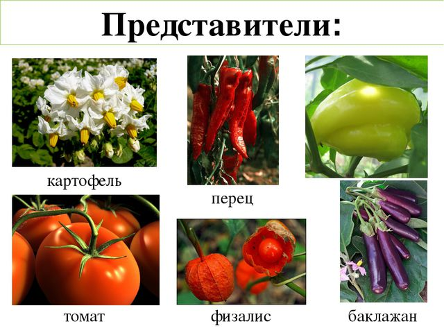 картофель физалис перец томат баклажан Представители: