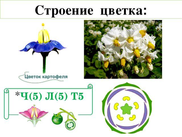 Строение цветка: Ч(5) Л(5) Т5 П1