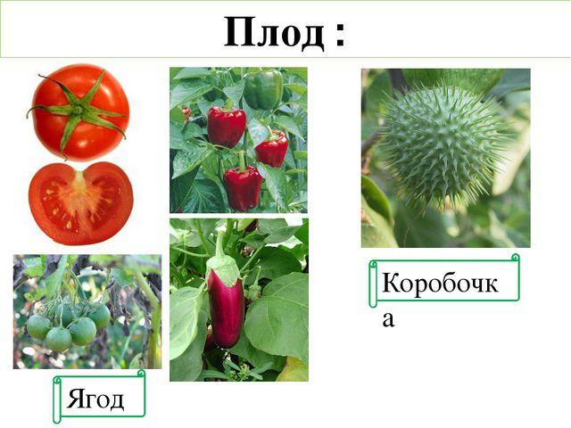 Ягода Коробочка Плод :