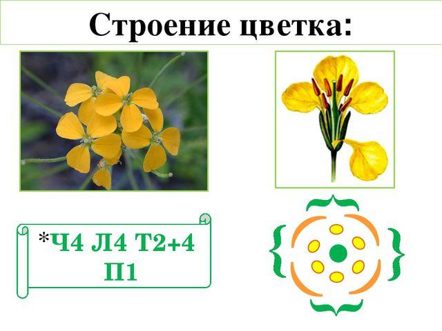 Строение цветка: Ч4 Л4 Т2+4 П1