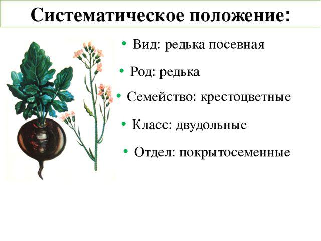 Систематическое положение: Вид: редька посевная Род: редька Семейство: кресто...
