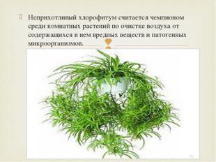 Неприхотливый хлорофитум считается чемпионом среди комнатных растений по очис