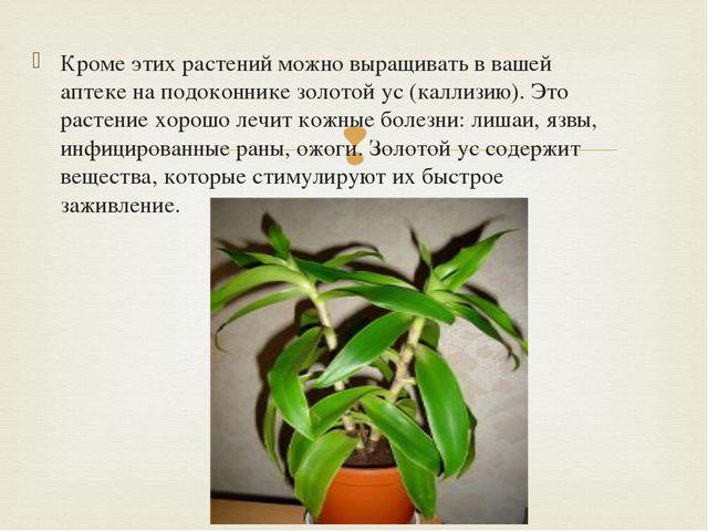 Кроме этих растений можно выращивать в вашей аптеке на подоконнике золотой ус...